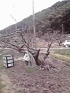 本日は桃作りと畑仕事