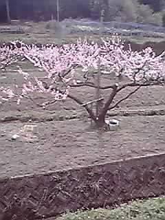 大阪 淀川区 地産地消野菜 桃山