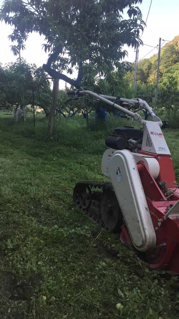 河内長野市 西端農園 桃畑間引き作業