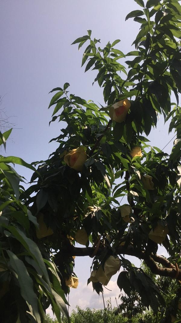桃 収穫間近!